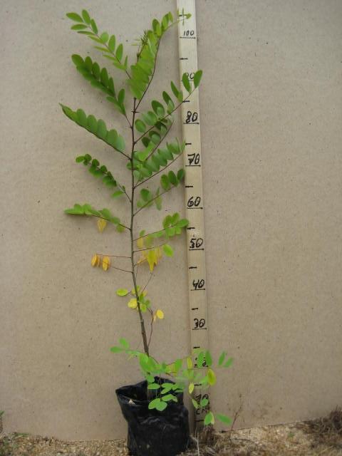 Акация выращивание и уход 18